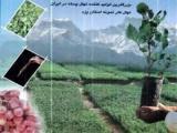 فروش نهال پسته ، نهالستان پسته میرزا غلامحسین